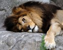 Bored Lion